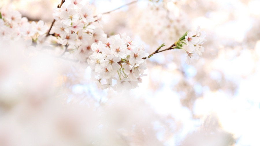 ciliegio albero delle ciliegie